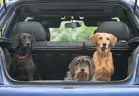Drei Hunde sitzen im geöffneten Kofferraum und blicken hinaus.