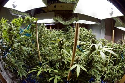 Marijuana-Pflanzen im Anbau