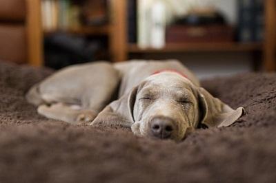 Schlafender Hund auf Teppich