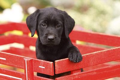 Der Labrador ist der Hundekönig der Herzen.