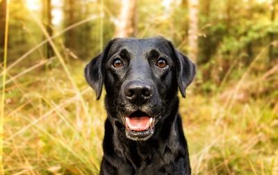 Labrador in Nahaufname im Wald