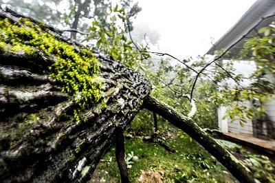Umgestürzter Baum in Nahaufnahme