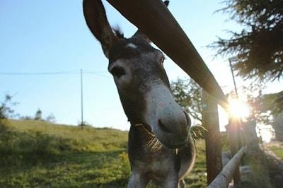 Ein Esel auf einer Koppel
