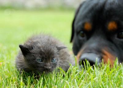 Katze und Rottweiler