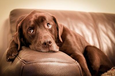 Labrador auf Couch