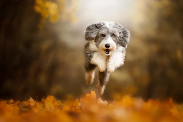 Bearded Collie action