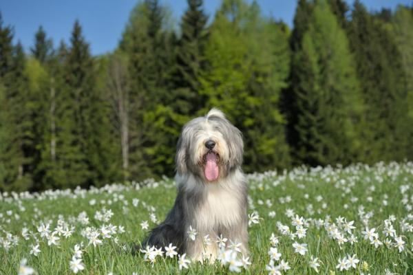 Bearded Collie Natur