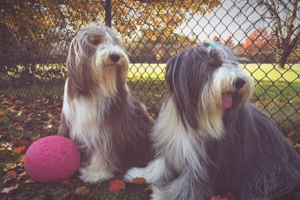 Bearded Collie Gruppe