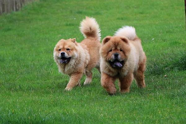 Chow Chow Gruppe