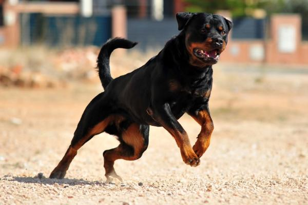 Rottweiler Action