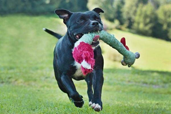 Staffordshire Bullterrier Action