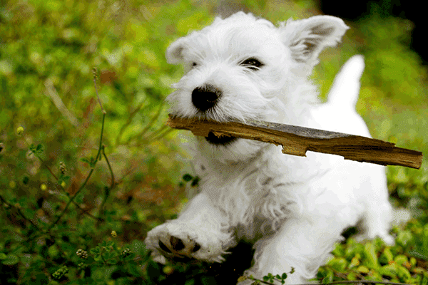 West Highland White Terrier Action