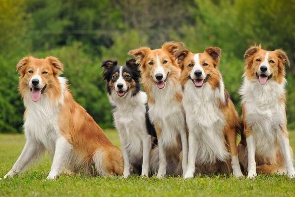 Border Collie Gruppe