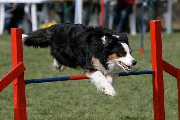 Border Collie springend