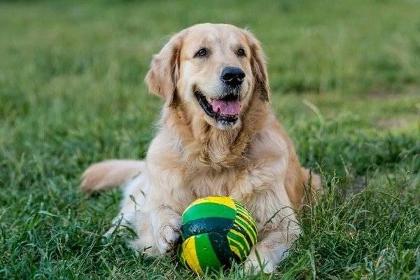 Golden Retriever Steckbrief Hundehaftpflicht Check24
