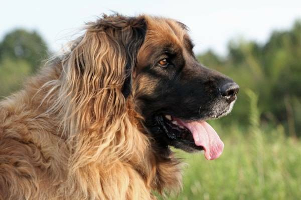 Leonberger Portrait