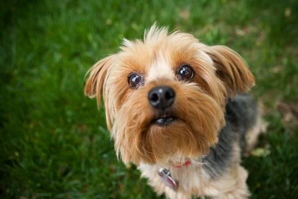 Yorkshire Terrier Steckbrief Hundehaftpflicht Check24